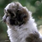 Cucciolo Shih Tzu Mekong Jiang